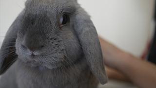 Castración en conejos