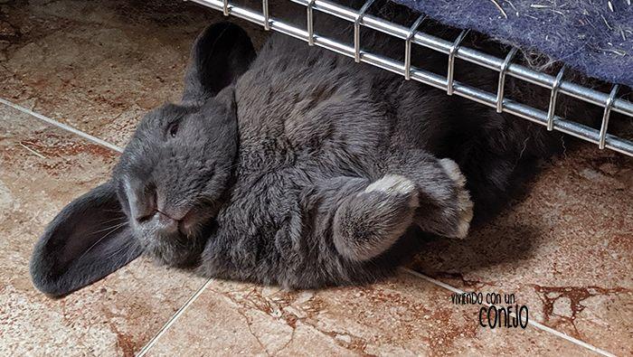 conejo-mueve-nariz-viviendo-con-un-conejo