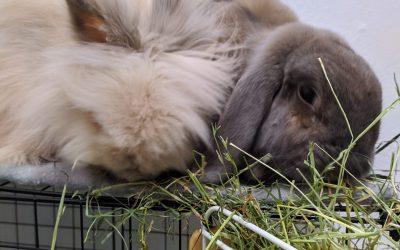 Consejos para que tu conejo coma más heno